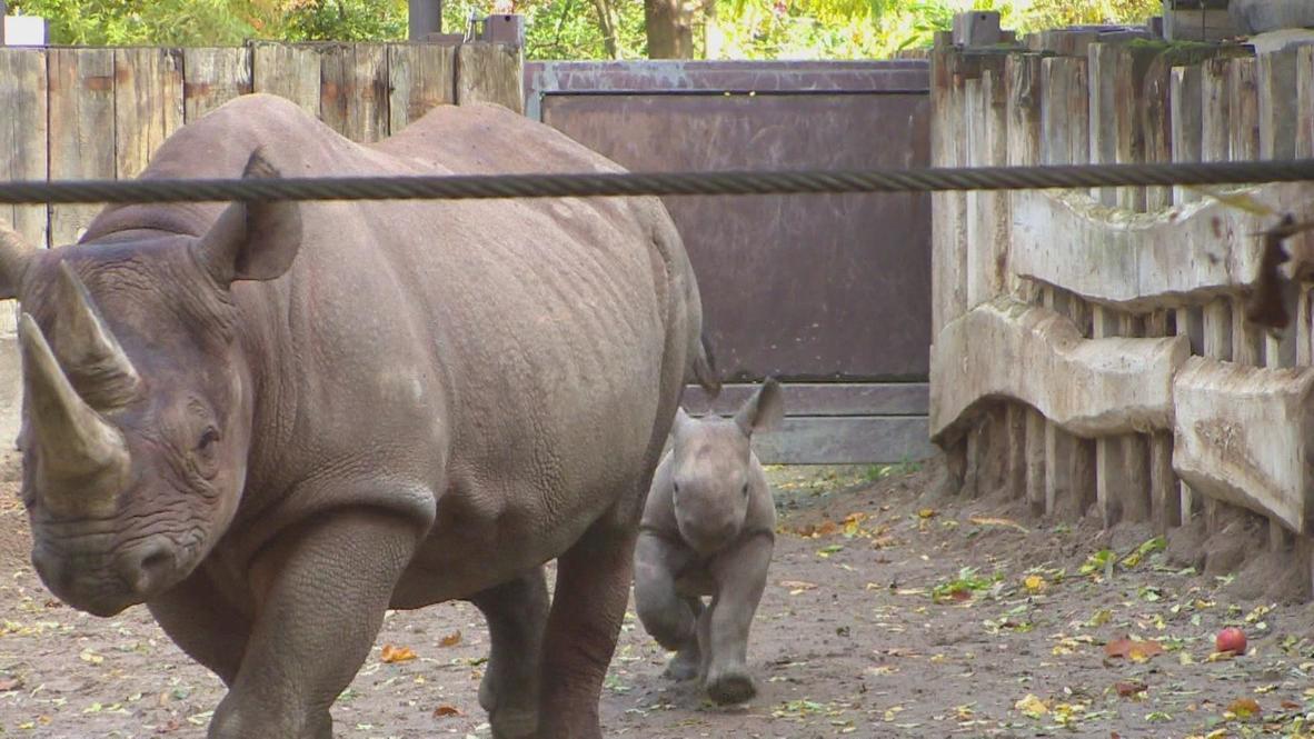 German: Baby Rhino baptized 'Samia' at Leipzig zoo