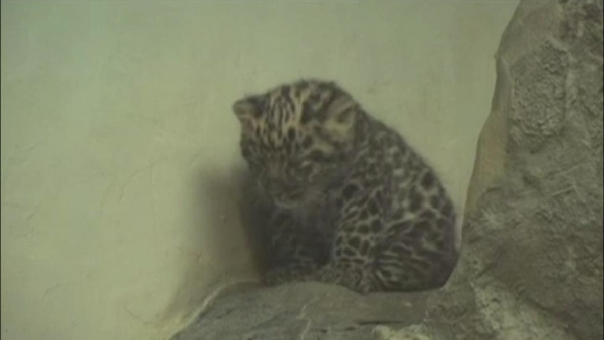 USA: Meet Sochi, the Amur leopard cub