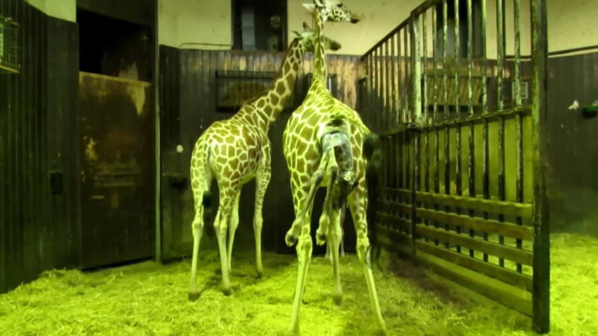 Spain: Endangered Rothschild's giraffe born in Madrid zoo