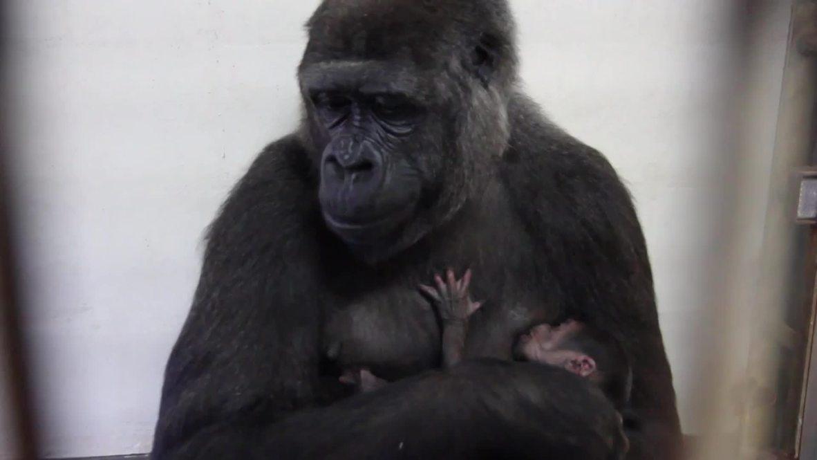 Australia: Watch mother gorilla breastfeed TINY baby