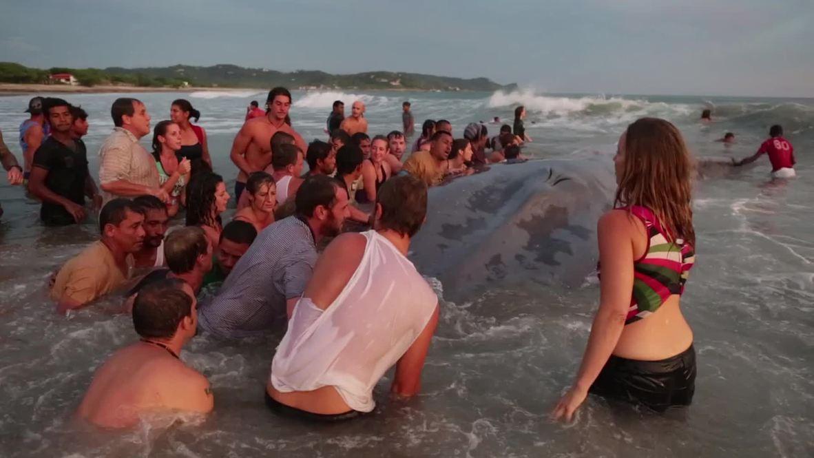 Nicaragua: Watch 60-foot blue whale get buried on Popoyo beach