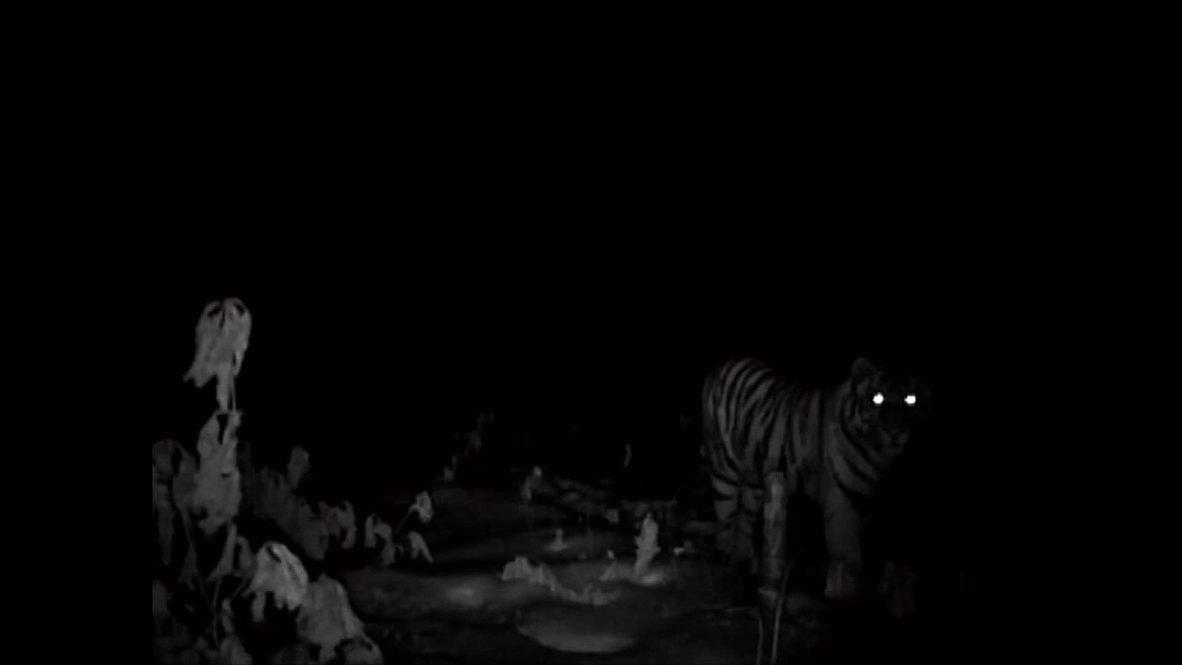 Russia: See Putin's tigress thriving in the wild