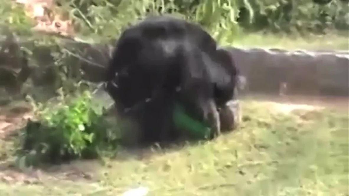 India: Bear MAULS farmer to death *GRAPHIC*