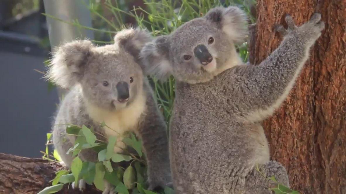 Australia: Warm your soul with these ADORABLE koala babies