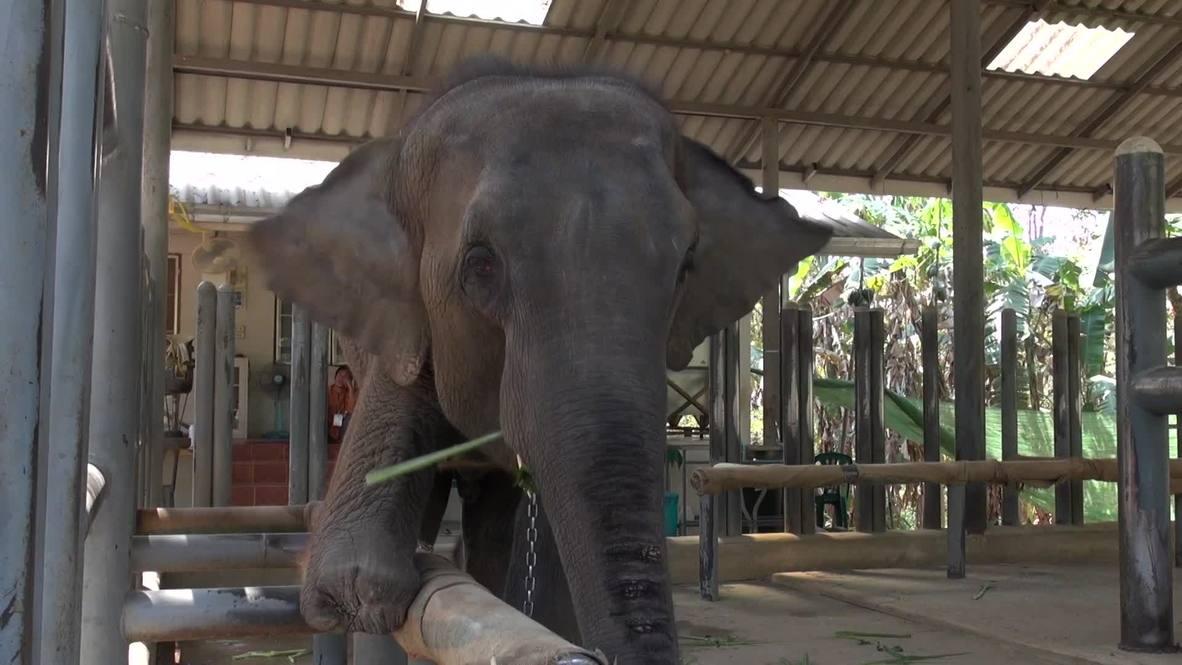 Thailand: Mosha, the three-legged elephant, just got a new leg!