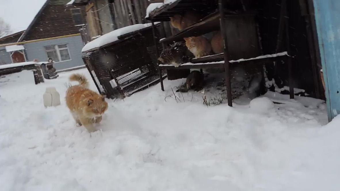 Russia: Meet the photogenic Siberian felines TAKING OVER the internet
