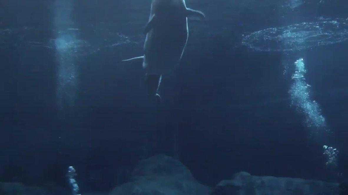 USA: See rare beluga whale gives birth to calf