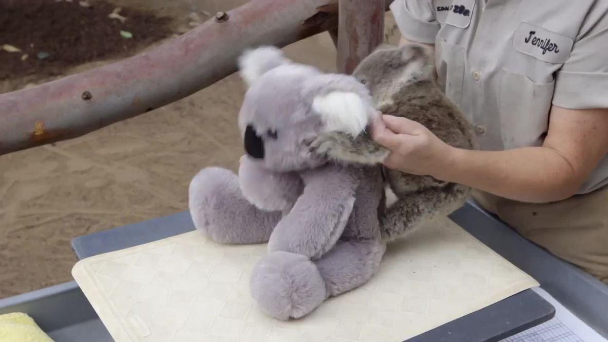 USA: See cute koala joey frolic around at San Diego Zoo