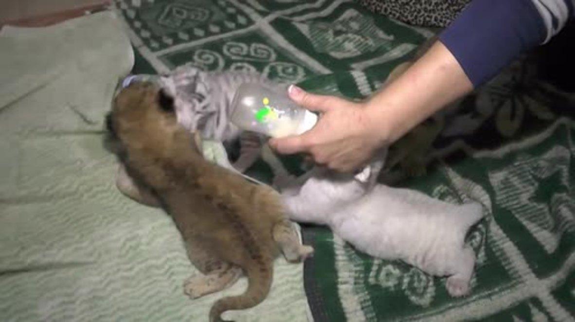 Russia: Meet the three tiny Bengal tigers born in Crimea's Yalta Zoo