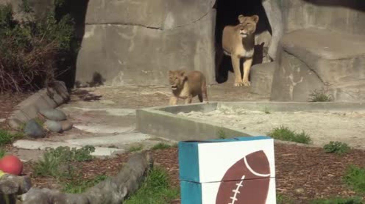 USA: SF zoo animals predict Super Bowl 50
