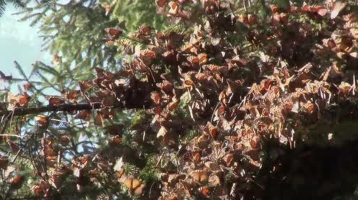 Mexico: Millions of Monarch butterflies crowd Ocampo's wildlife sanctuary