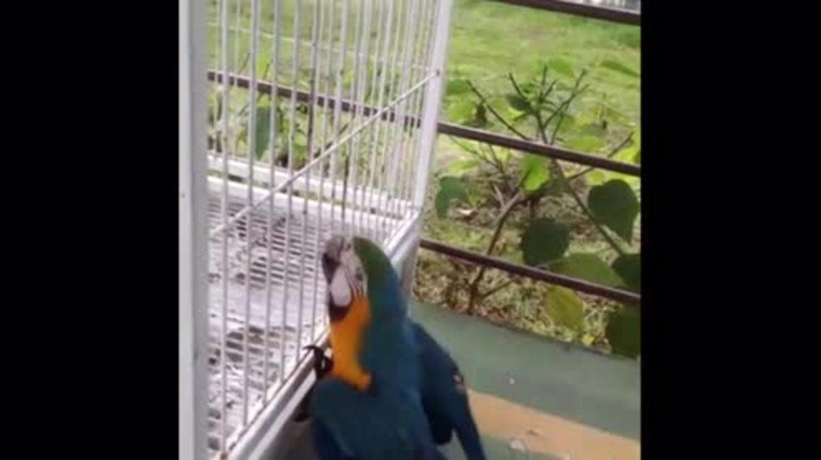 Brazil: Gigi the parrot becomes world's first bird with a titanium 3D beak