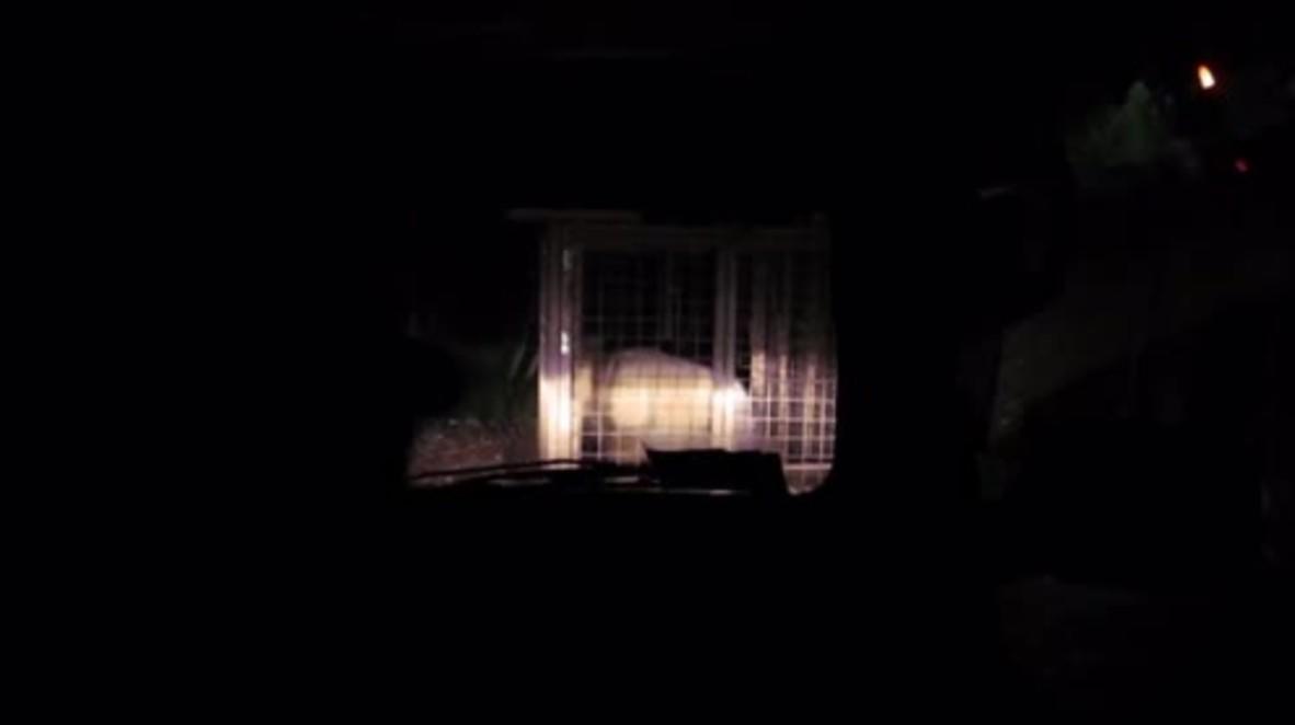 Italy: 189 kg wild bear captured during bear-hunt at Verzegnis