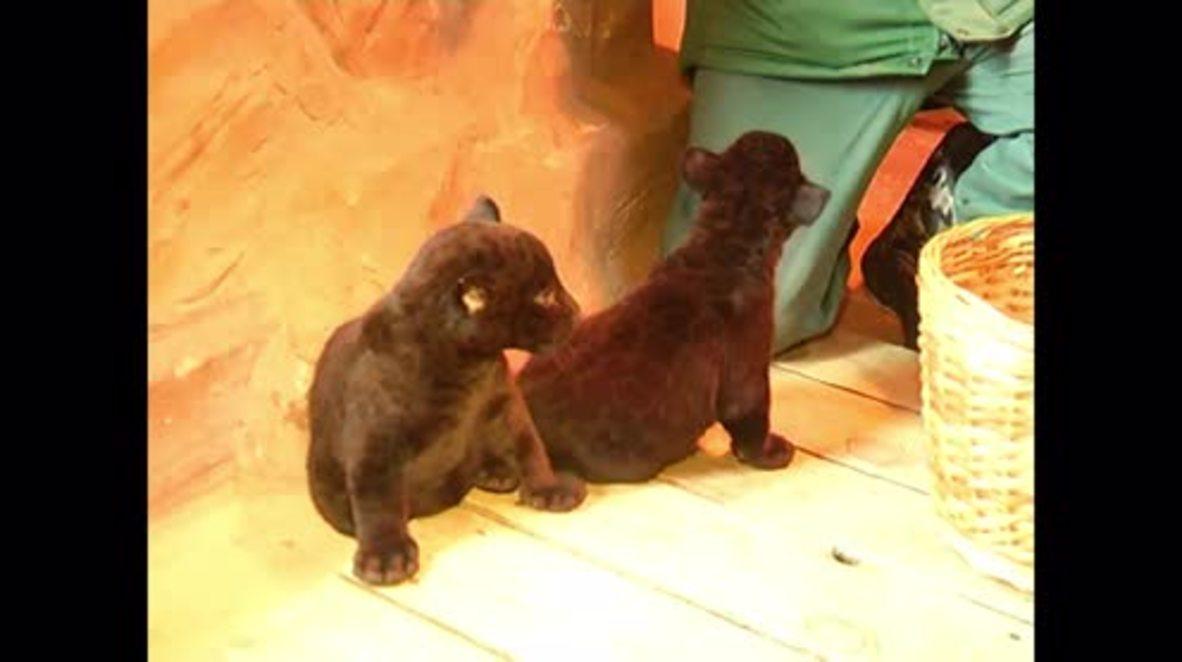 Russia: Rare twin jaguar kittens make debut at Nizhniy Novgorod zoo