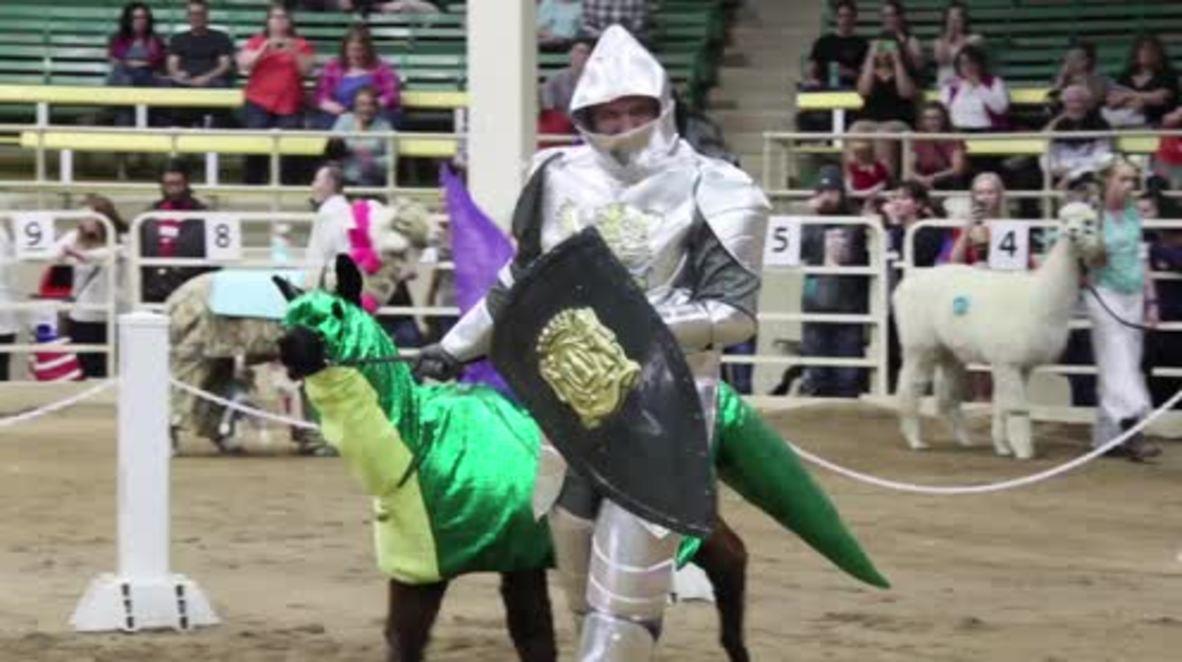 USA: Adorable alpacas strut their stuff during alpaca costume contest in Denver