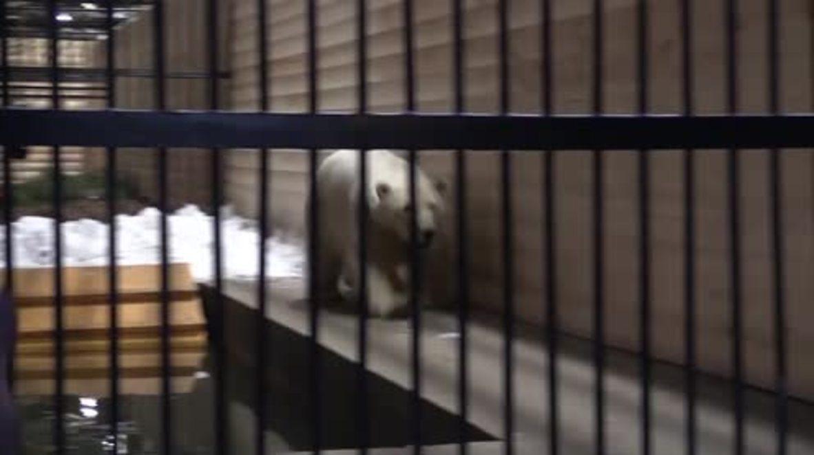 Rusia: Adorable oso polar se divierte en un nuevo hogar junto a su abuela