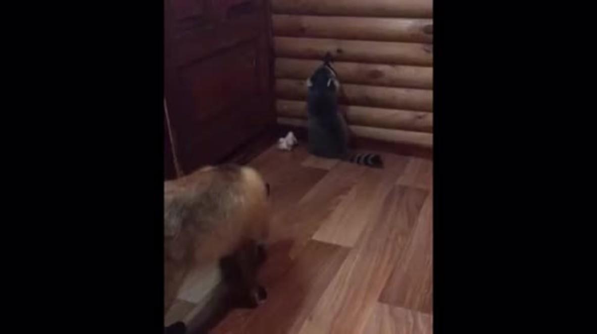 For fox sake! Raccoon and fox strike up unusual friendship in Pskov