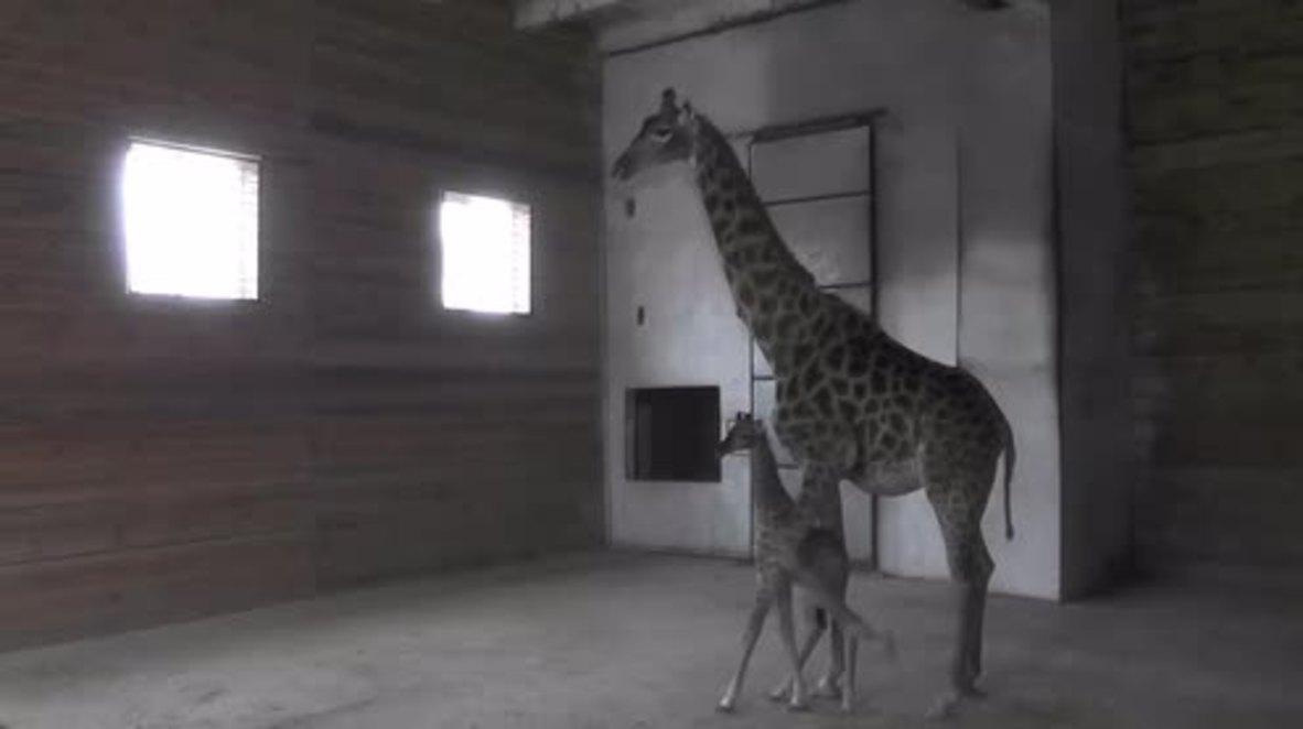 Baby giraffe the best Christmas present Sevastopol safari park could ask for!