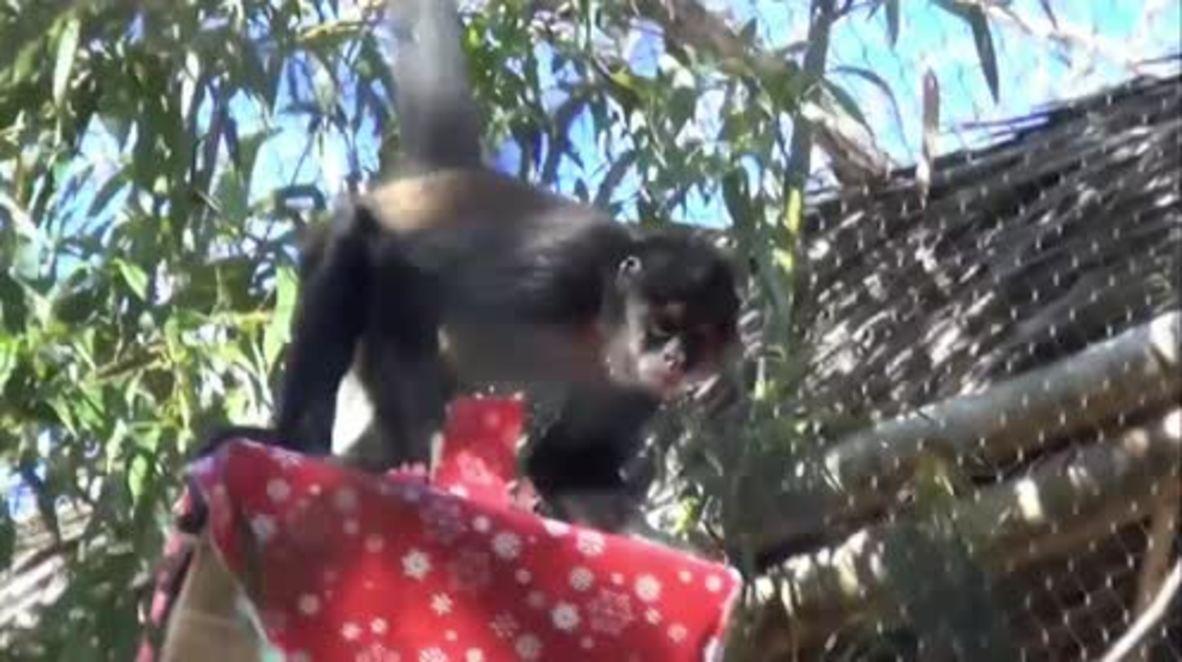 Monkeying around the Christmas tree! Nashville Zoo apes get festive