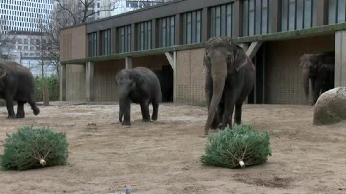 Elephants and sloth bears feast on leftover Christmas trees