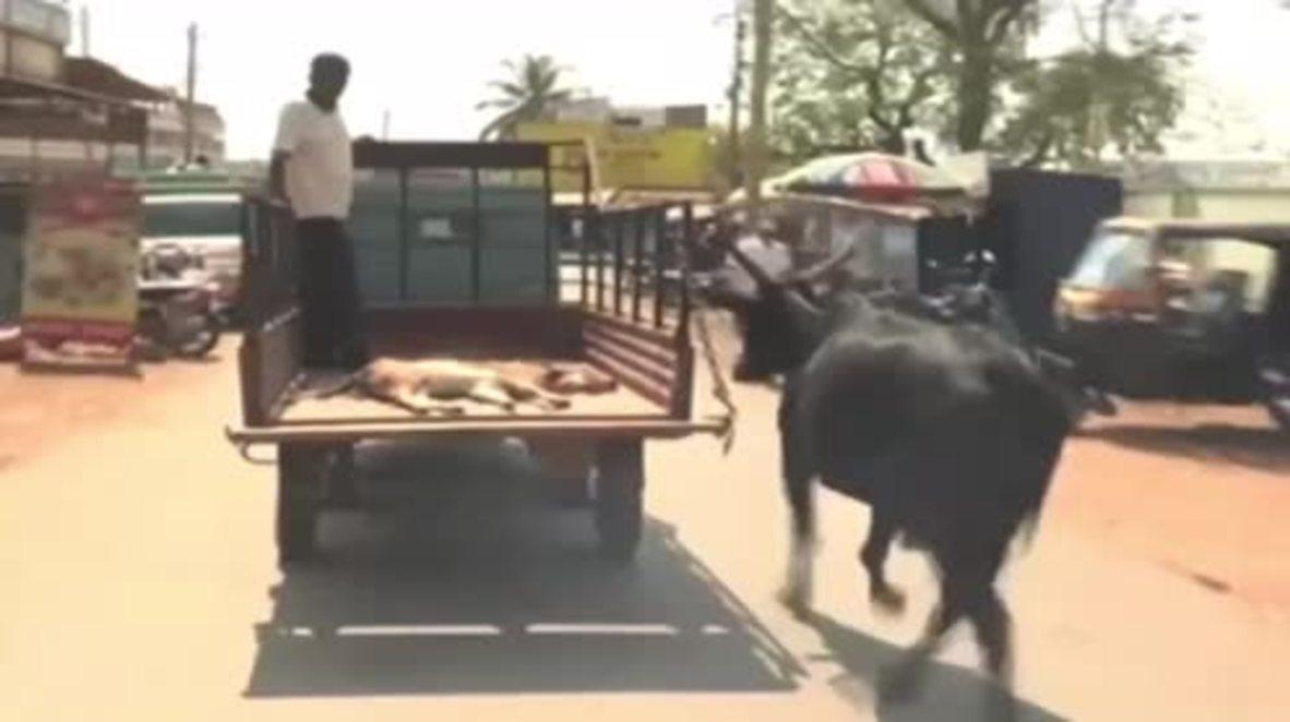 Mama Moo! Worried mama cow runs behind truck carrying baby calf to hospital