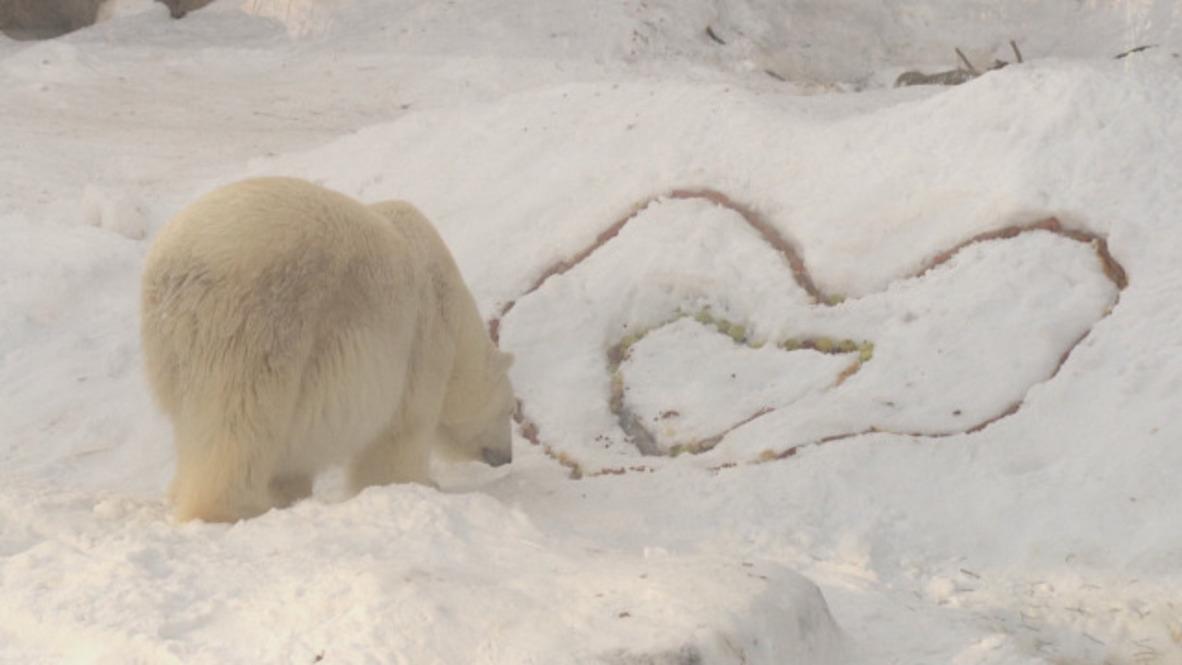 Love is in the BEAR! Polar bears enjoy hearty Valentine's Day breakfast