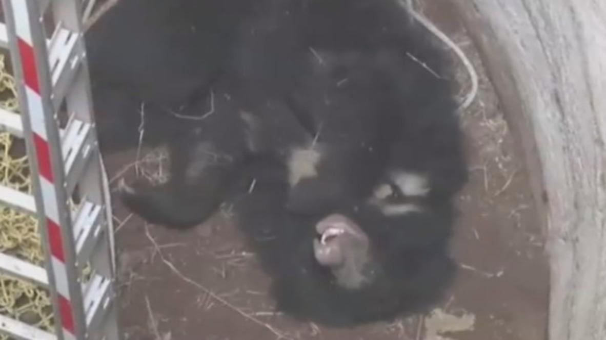 India: Dramático rescate de dos osos que habían caído a un pozo de 9 metros de profundidad