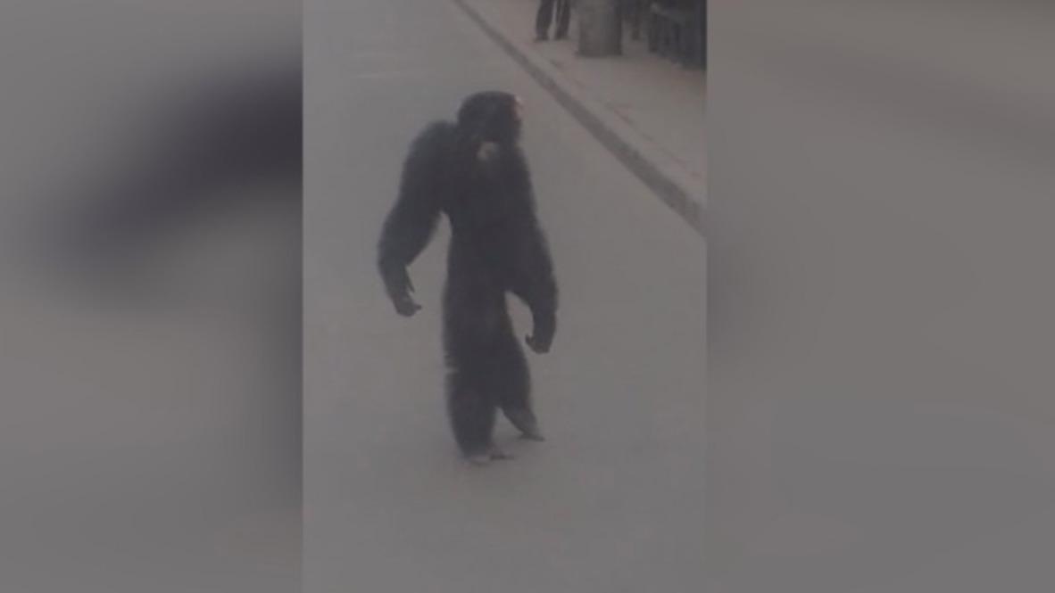 Cirque du Krasnodar! Runaway chimp causes stir