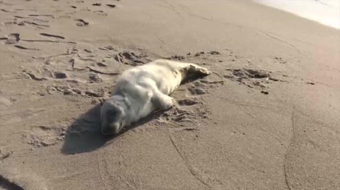 Russia: Kalinigrad Zoo saves seal cub injured by dog