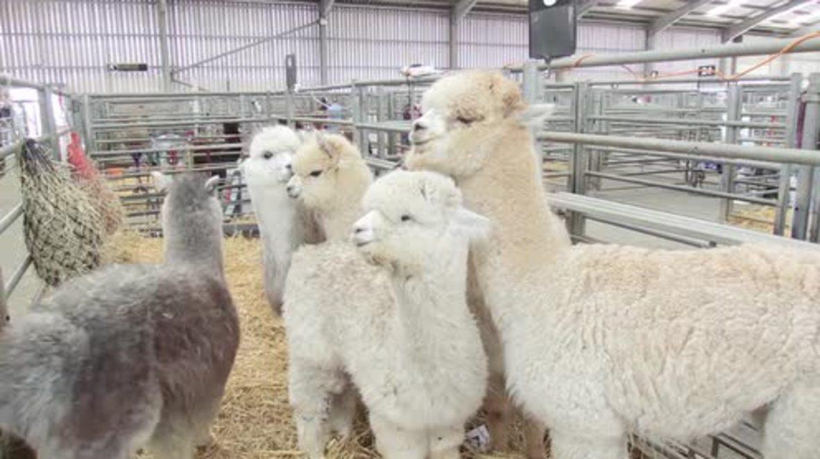 Escocia: Organizan el Campeonato de Alpaca en Lanark