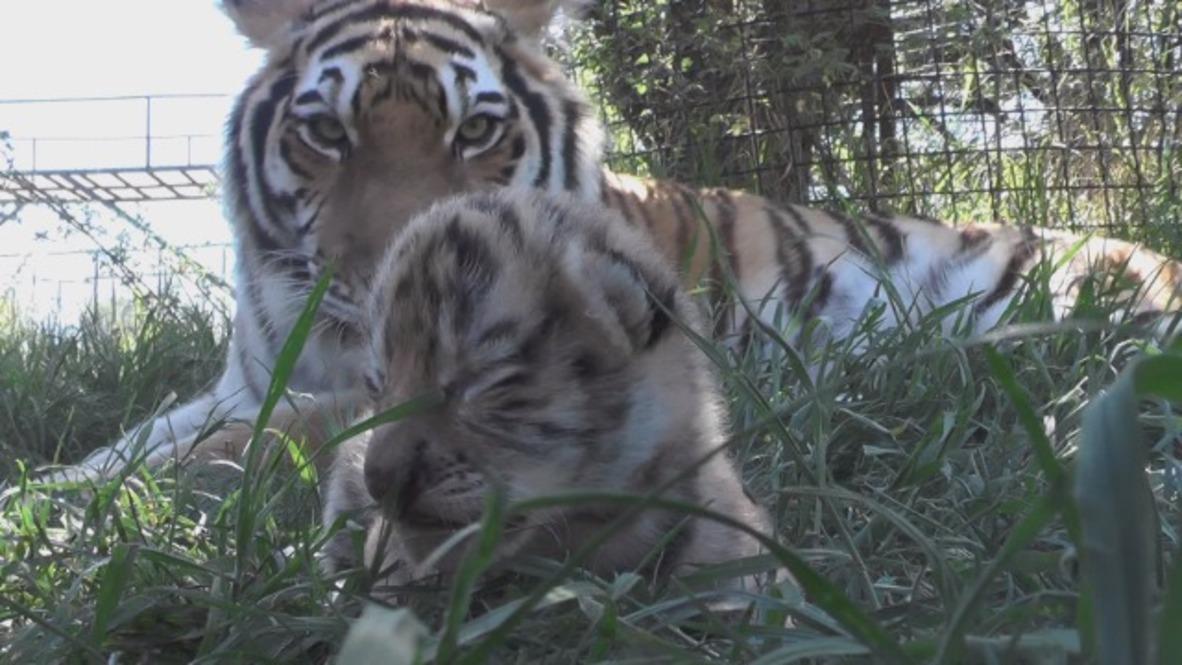 Watch quartet of adorable tiger cubs born in Crimea