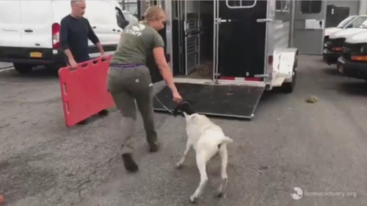 USA: Jon Stewart helps rescue goats found on NY subway trakcs