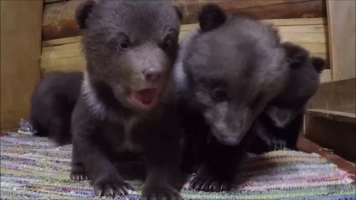 Россия: Осторожно! 10 милых медвежат, и ваше сердце в капкане!