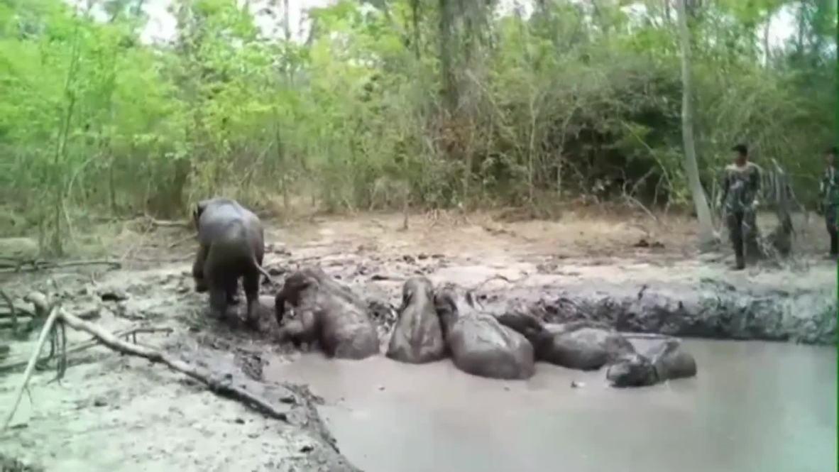 Crías de elefante atrapadas en el lodo son rescatados por guardabosques tailandeses