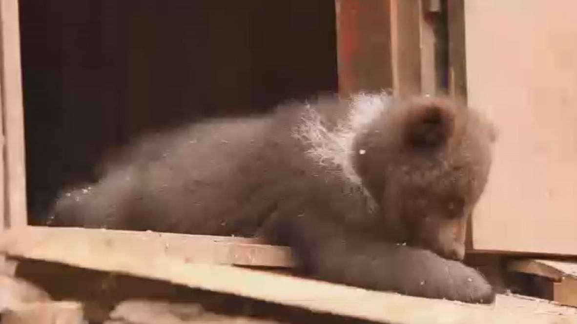 Rusia: Osos abandonados encuentran nuevo hogar en un centro de cuidado animal en Tver