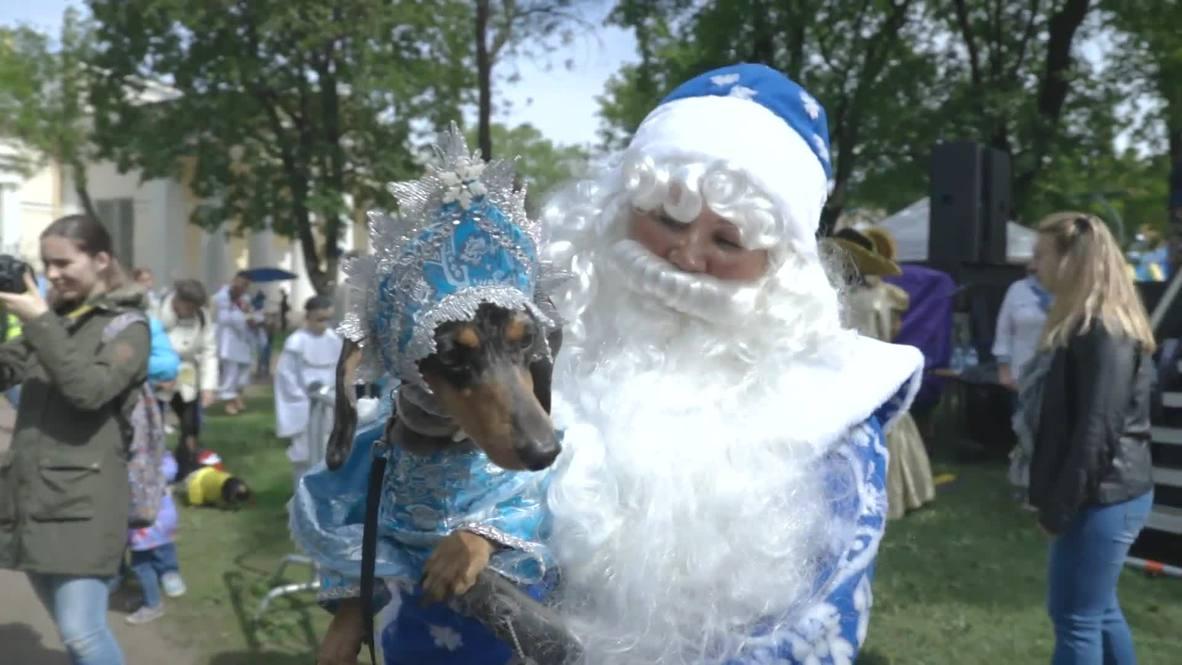 Perros salchicha se disfrazan para conmemorar la fundación de San Petersburgo