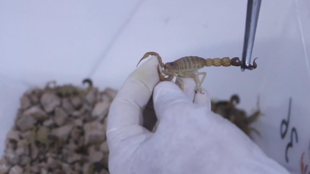 Afganistán: Granjas de escorpiones recolectan su veneno para la exportación