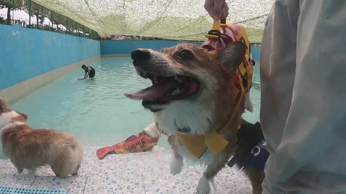 ¡Una fiesta de perros! Date un chapuzón con estos adorables Corgis en Shangái