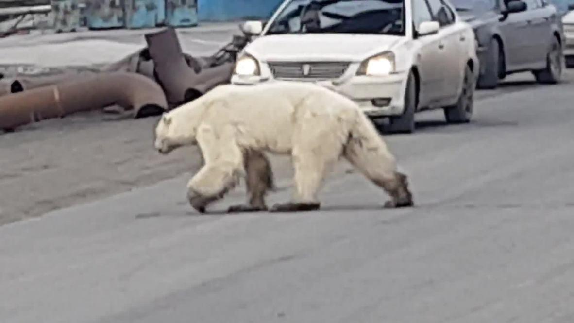 Rusia: Filman un oso polar hambriento vagando por las calles de una ciudad de Siberia