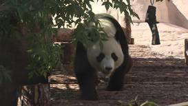 Россия: Дом два. Московский зоопарк запустил онлайн-трансляцию из вольера двух китайских панд