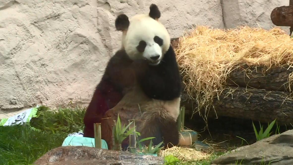 """Россия: """"Три плюс два"""". В Московском зоопарке отметили дни рождения панд Диндин и Жуи"""