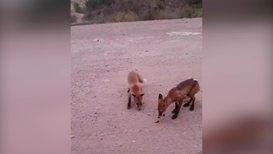 Россия: Выжить любой ценой. Застигнутые лесным пожаром лисы выбежали на обочину просить еду
