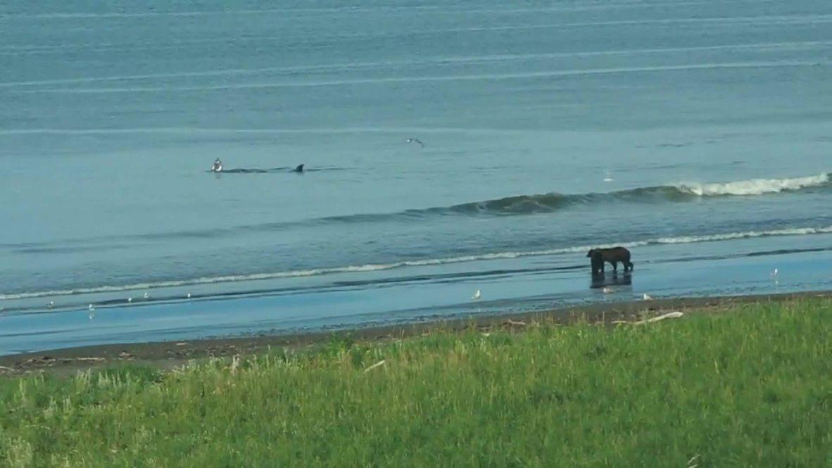 Россия: Медведь и кит вместе приняли морскую ванну на Камчатке