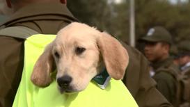 Чили: Служить готов! Щенки-новобранцы очаровали публику на военном параде в Сантьяго