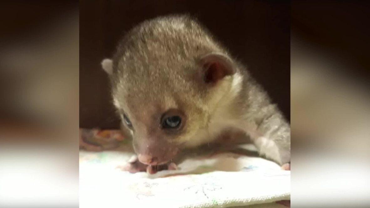Покажу вам кинкажу. Сотрудники Новосибирского зоопарка впервые выкармливают маленького зверька