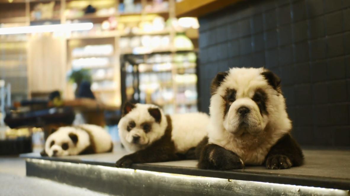 مقهى صيني يحول الكلاب إلى باندا