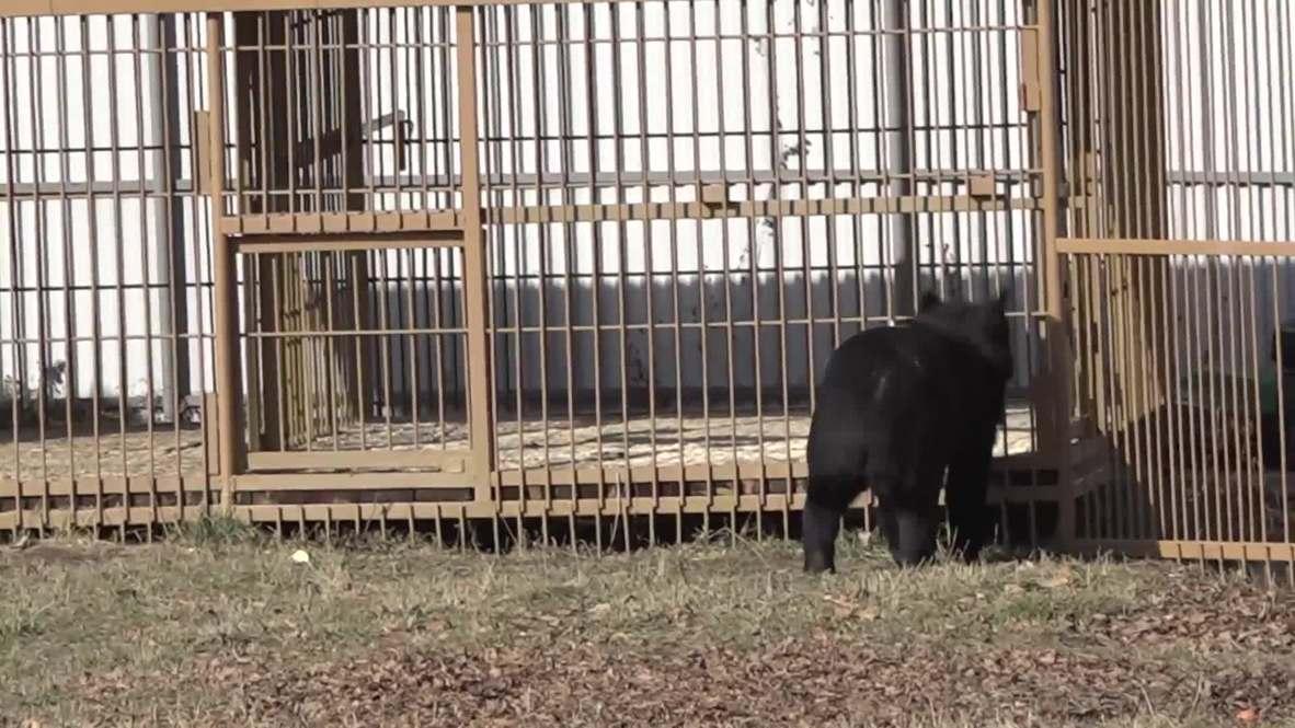 Лесные сироты уважают сгущёнку: в Приморье открылся медвежий приют