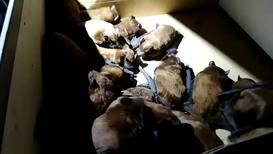 """Ночной дозор: летучие мыши """"оккупировали"""" киевскую квартиру для зимовки"""