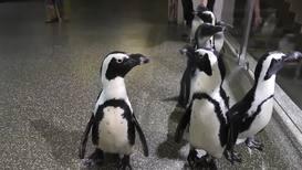 Улыбаемся и машем! Пингвины Московского зоопарка переехали в новый дом