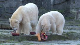Polar bear Tonja devours 10th birthday cake at Tierpark Berlin